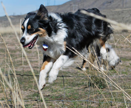 Allie the Australian Shepherd Pictures 590226