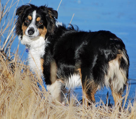 Allie the Australian Shepherd Pictures 590227