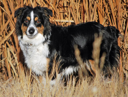 Allie the Australian Shepherd Pictures 590228
