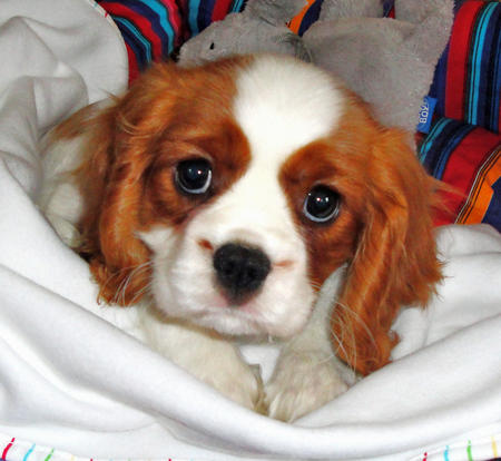 Amber the Cavalier King Charles Spaniel Pictures 751437