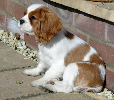 Amber the Cavalier King Charles Spaniel Pictures 751438