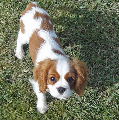 Amber the Cavalier King Charles Spaniel Pictures 751439
