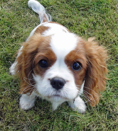 Amber the Cavalier King Charles Spaniel Pictures 751441