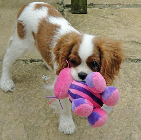 Amber the Cavalier King Charles Spaniel Pictures 751436