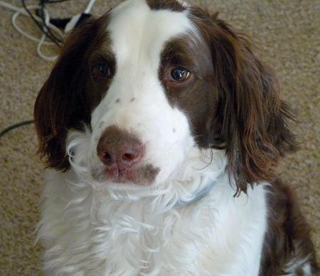 Amber the English Springer Spaniel Pictures 1009989