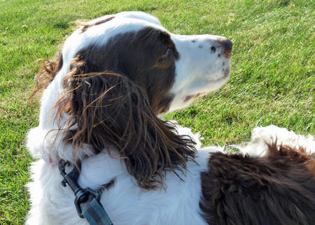 Amber the English Springer Spaniel Pictures 1009991
