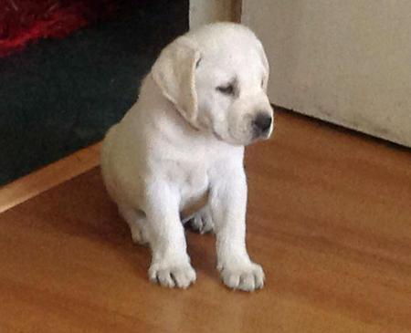 Amigo the Labrador Retriever Pictures 987623