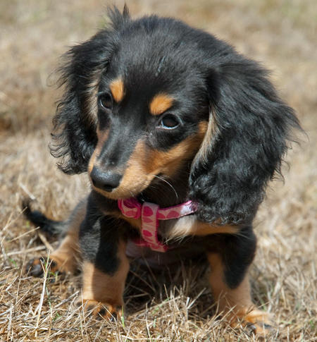 Anastasia the Miniature Dachshund Pictures 430566