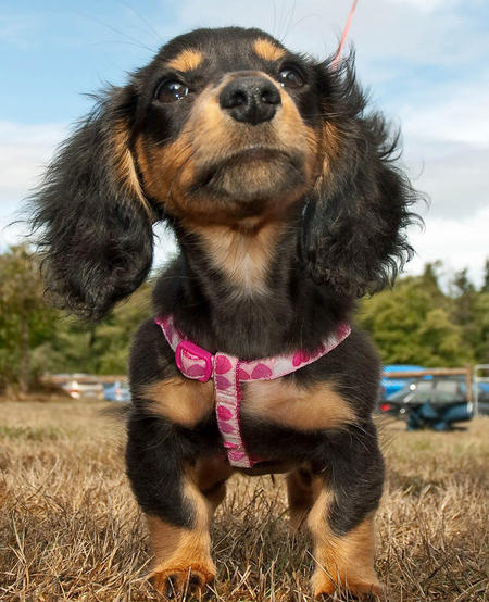 Anastasia the Miniature Dachshund Pictures 430568