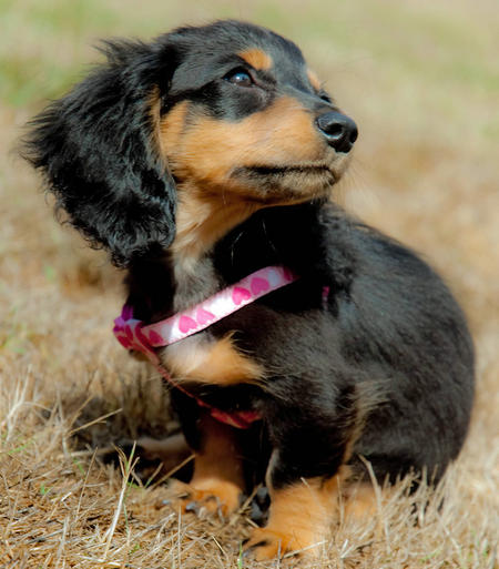 Anastasia the Miniature Dachshund Pictures 430569