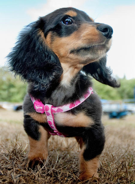 Anastasia the Miniature Dachshund Pictures 430570