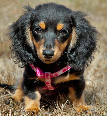 Anastasia the Miniature Dachshund Pictures 430572