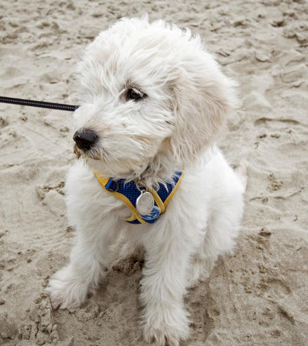 Andi the Goldendoodle Pictures 1047562