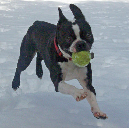 Andrew the Boston Terrier Pictures 830877