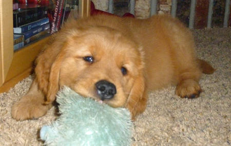 Andy the Golden Retriever Pictures 575511