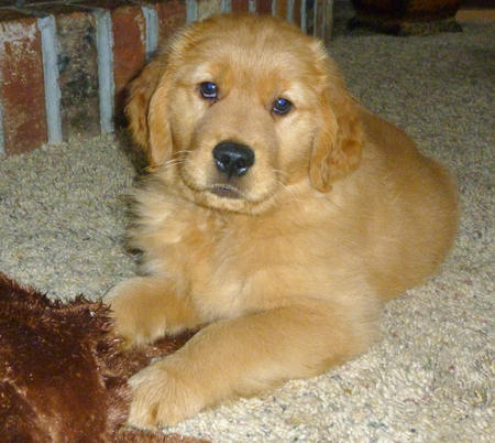 Andy the Golden Retriever Pictures 575512