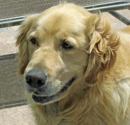 Andy the Golden Retriever Pictures 617420
