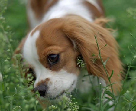 Angel the Cavalier King Charles Spaniel Pictures 934927