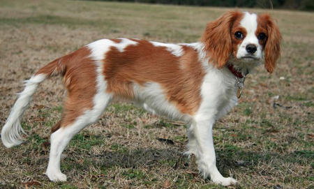 Angel the Cavalier King Charles Spaniel Pictures 934929