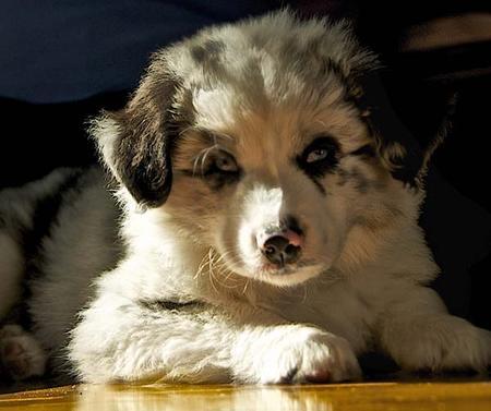 Angus the Australian Shepherd Mix Pictures 973385