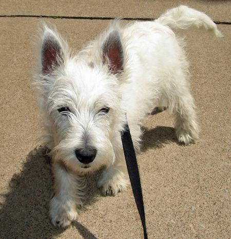 Angus the West Highland Terrier Pictures 729165