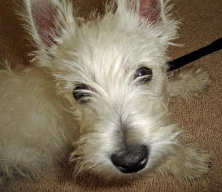 Angus the West Highland Terrier Pictures 729163