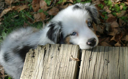Annabel the Australian Shepherd Pictures 846048