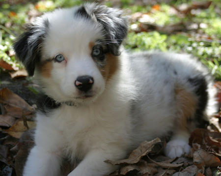 Annabel the Australian Shepherd Pictures 846050