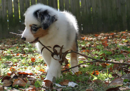Annabel the Australian Shepherd Pictures 846051