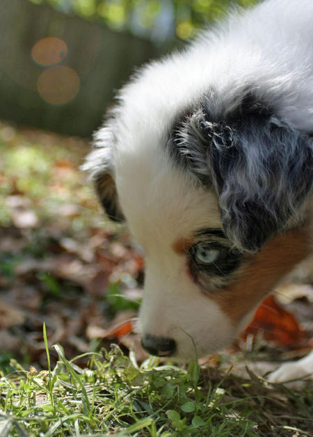 Annabel the Australian Shepherd Pictures 846047