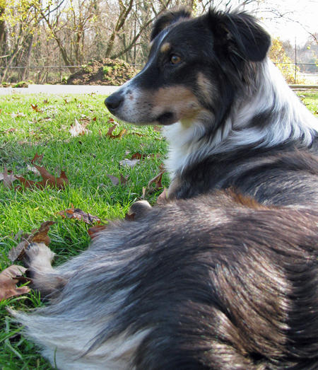 Annie the Australian Shepherd Mix Pictures 484650