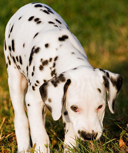 Annie the Dalmatian Pictures 621343