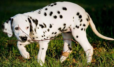Annie the Dalmatian Pictures 621346
