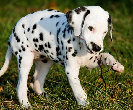 Annie the Dalmatian Pictures 621347