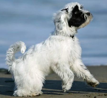 Annie the Tibetan Terrier Pictures 448317