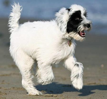 Annie the Tibetan Terrier Pictures 448308