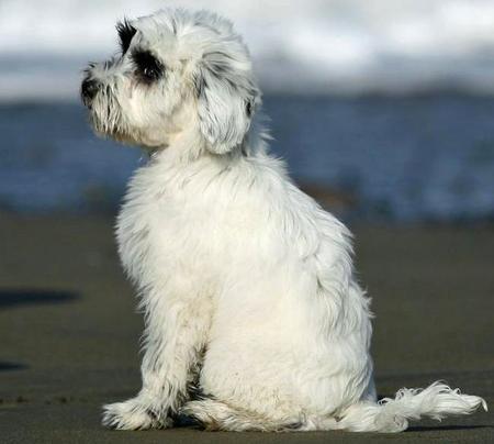 Annie the Tibetan Terrier Pictures 448309