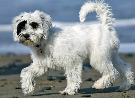 Annie the Tibetan Terrier Pictures 448310