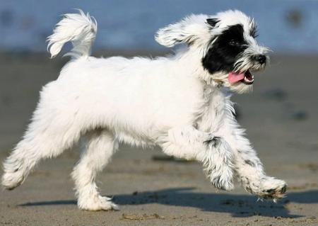 Annie the Tibetan Terrier Pictures 448311