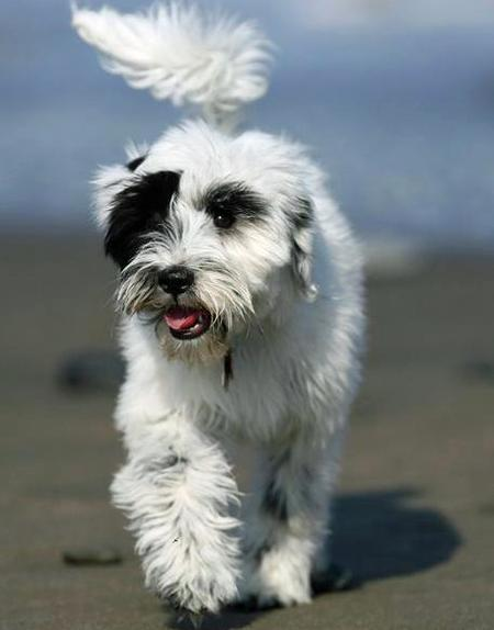 Annie the Tibetan Terrier Pictures 448313