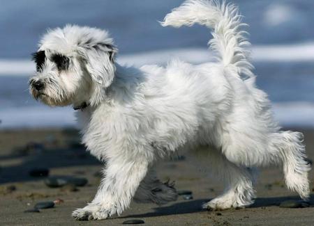 Annie the Tibetan Terrier Pictures 448314