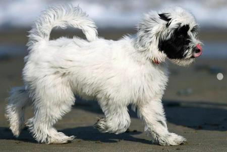 Annie the Tibetan Terrier Pictures 448316