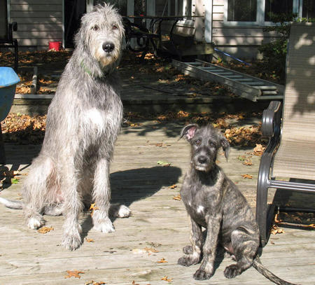 Annora the Irish Wolfhound Pictures 842766