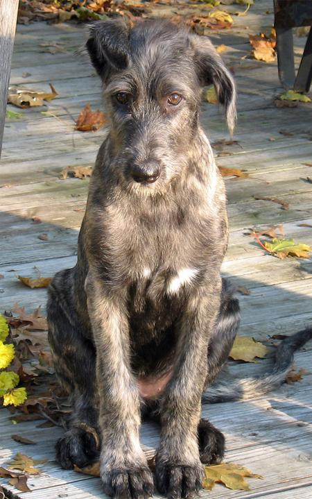 Annora the Irish Wolfhound Pictures 842767