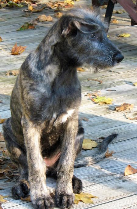 Annora the Irish Wolfhound Pictures 842768
