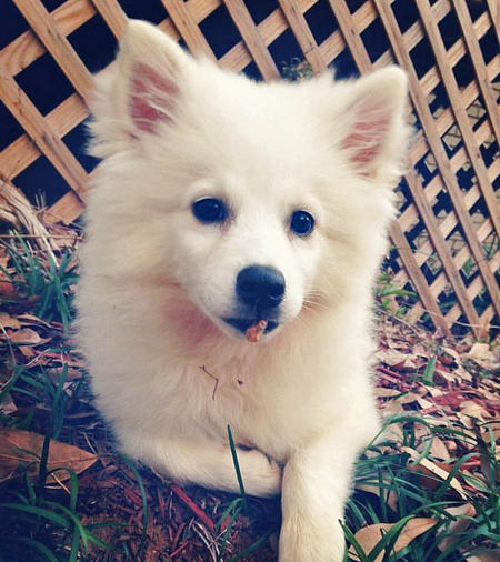 Apollo the American Eskimo Dog Pictures 1002364