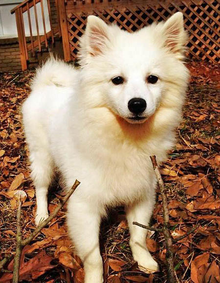 Apollo the American Eskimo Dog Pictures 1002366