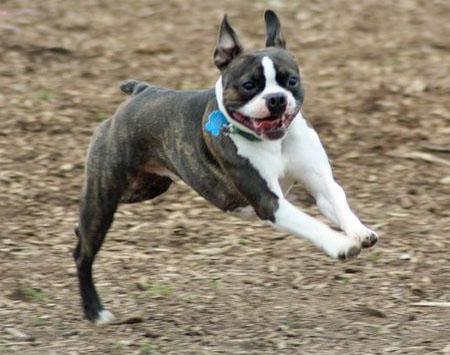 Apollo the Boston Terrier Pictures 1042971