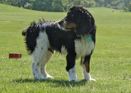 Apollo the English Springer Spaniel Pictures 826242