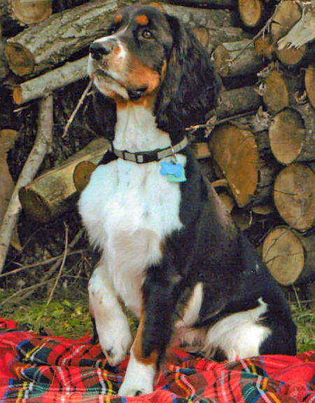 Apollo the English Springer Spaniel Pictures 826239